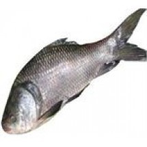 Katla Fish Big (কাতল মাছ) - 1.5kg
