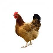 Deshi Chicken (দেশী মুরগী) - 650gm