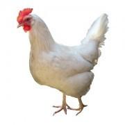 Broiler Chicken(ব্রয়লার মুরগী)