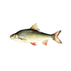 Rui Fish (Big) - 1kg