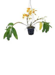 Indoor Plants (Chantaboon Sunrise)