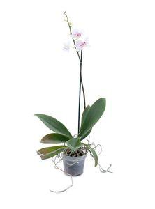 Indoor Plants (Orchid Phalogenics)