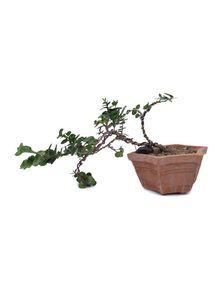 Indoor Plants (Bonsai)