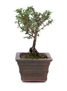 Indoor Plants (Serissa Bonsai)