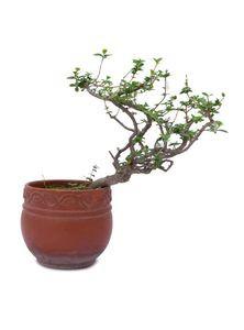 Indoor Plants (Premna Bonsai)