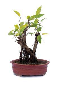 Indoor Plants (Bonsai Ambot)